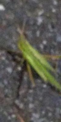 コオロギ鳴く - 虫のひとりごと