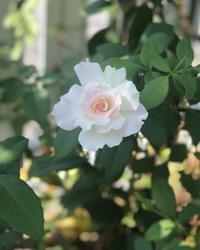 サービス精神旺盛なレイニーブルー♡と、スズメのレストラン♫ - 薪割りマコのバラの庭