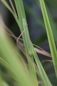 チャバネセセリの幼虫と蛹 - 蝶超天国