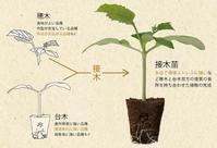 自農場で作った定植苗は大丈夫ですか - すてきな農業のスタイル