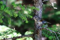 涼しいお山のルリビタキ(幼鳥) - michikoの部屋