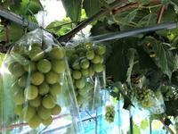 2週間振り日曜日の葡萄便り - 島暮らしのケセラセラ