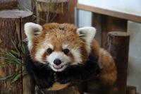 長野市茶臼山動物園と名古屋市東山動植物園の旅行記を姉妹ブログ「レッサーパンダ紀行」にアップしました - (続)レッサーパンダ紀行