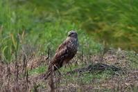 マダラチュウヒその8(最終章①止まりもの) - 私の鳥撮り散歩