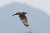 マダラチュウヒその9(最終章②飛翔) - 私の鳥撮り散歩