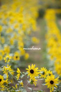 世羅高原農場のヒマワリ畑。 - MIRU'S PHOTO