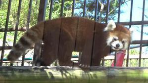 2020/08/16到津の森公園にて - 小熊猫ハウス