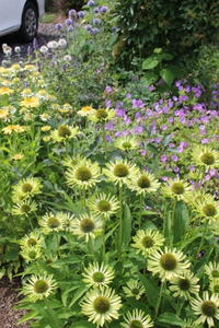 エキナセア&ゲラニウムのモリモリゾーン♪ - ペコリの庭と時々パン