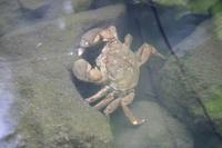 水元かわせみの里で、モクズガニを発見! - 水元かわせみの里水辺のふれあいルーム