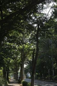 真夏日の午前けやき通りと御殿山緑地 - ひのきよ