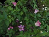 夏の庭No.4共に頑張ろう2番花 - グリママの花日記