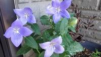 桔梗、百合、開花 - ウィズコロナのうちの庭の備忘録~Green's Garden~