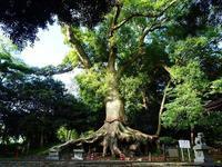 樹齢500年 大楠 - NATURALLY
