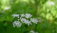 立秋蒙霧升降(ふかききりまとう) - 紀州里山の蝶たち