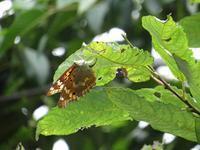 コムラサキの産卵 - 秩父の蝶