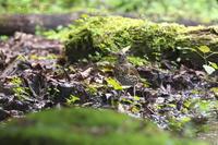 クロツグミ<幼鳥> - 奥武蔵の自然