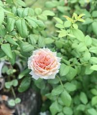 猛暑地方に暮らす決意!と、夏でも元気に巻き巻きに(๑>◡ - 薪割りマコのバラの庭