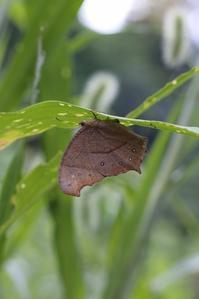 クロコノマチョウの産卵と孵化が同時進行 - 蝶超天国