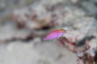 ベニヒレイトヒキベラ幼魚 - Diving Photo web図鑑