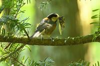 2020-149 セミを捕まえたヤマガラ - 近隣の野鳥を探して2
