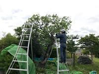 梅の木、剪定 - 『文化』を勝手に語る