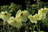 ■真夏の花 3種 (2)20.8.18(トロロアオイ、ナンバンギセル、クコ) - 舞岡公園の自然2