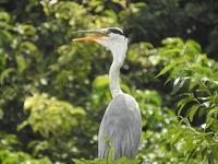 タカブシギで盛り上がった週末でした★先週末の鳥類園(2020.8.15~16) - 葛西臨海公園・鳥類園Ⅱ