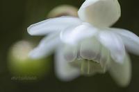 レンゲショウマ*神代 植物多様性センター。 - MIRU'S PHOTO