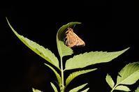 コチャバネセセリ - 続・蝶と自然の物語