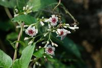 ■かわいそうな名前の植物 3種20.8.19(ヘクソカズラ、ヌスビトハギ、ハキダメギク) - 舞岡公園の自然2