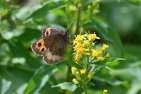 ベニヒカゲ高原の蝶① - 蝶のいる風景blog