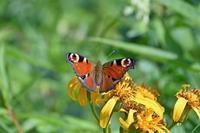 クジャクチョウ高原の蝶② - 蝶のいる風景blog