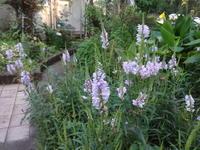 花虎の尾は暑さに強い - だんご虫の花