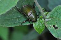甲虫色々 - *la nature*