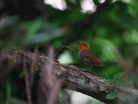 前ボケ・・・コマドリ。 - 鳥見んGOO!(とりみんぐー!)野鳥との出逢い
