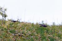 カッコウの飛翔 - 比企丘陵の自然