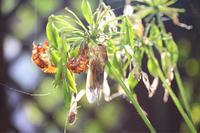 殻をやぶり夏の空へ!✧✧✧ 蝉の羽化 - ひとやすみ。