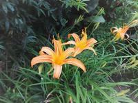 ヘメロカリスの花色が変! - だんご虫の花