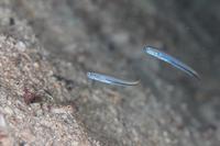 オニハゼ属の1種-3 ♀スミゾメハナハゼ - Diving Photo web図鑑
