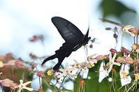 山頂オナガアゲハ - 続・蝶と自然の物語