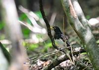 水場のクロツグミ (雄) - azure 自然散策 ~自然・季節・野鳥~