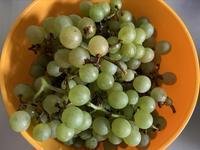 葡萄ナイアガラの味み収穫と昨日のニュースで - いととはり