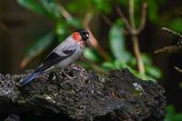 夏色のウソ(鷽) - 野鳥などの撮影記録