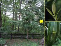 アオスジアゲハの食樹ヤブニッケイ - 秩父の蝶