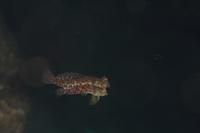 ミヤケテグリ産卵 - Diving Photo web図鑑