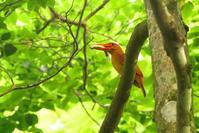 2020-151 アカショウビンの餌運び Part7 - 近隣の野鳥を探して2