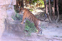 美トラに成長 - 動物園へ行こう