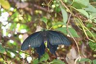 クロアゲハ・・朝自宅で - 続・蝶と自然の物語