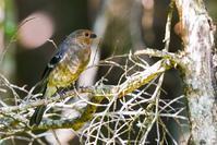 ウソ(鷽)、若鳥 - 野鳥などの撮影記録