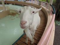 江戸川区自然動物園~ふれあいコーナーのヤギたち - 続々・動物園ありマス。